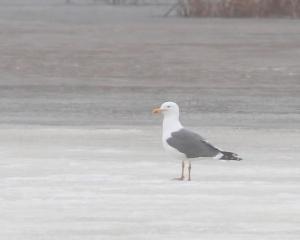Lesser Black-backed Gull, Melanie Lane Wetlands, Hanover, NJ, Mar. 14, 2015 (photo by Jonathan Klizas)