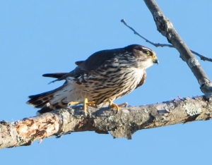 Merlin, Great Swamp NWR, Mar. 17, 2015 (photo by Chuck Hantis)