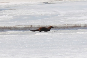 Mink, Glenhurst Meadows, NJ, Mar. 18, 2015 (photo by Jim Mulvey)