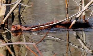 Mink, Glenhurst Meadows, NJ, Mar. 18, 2015 (photo by Jim Mulvey)