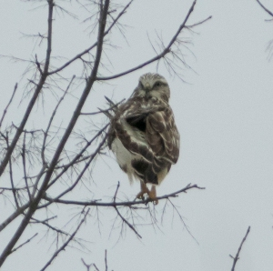 Documentation photo: Rough-legged Hawk, Great Swamp NWR, NJ, Mar. 10, 2015 (photo by Chuck Hantis)