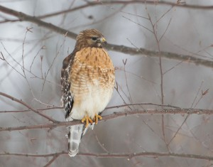 Red-shouldered Hawk, Duke Island Park, NJ, Mar. 3, 2015 (photo by Chris Duffek)