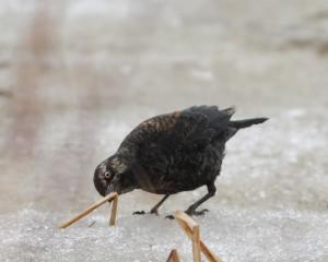 Rusty Blackbird, Great Swamp NWR, NJ, Mar 14, 2015 (photo by Jonathan Klizas)
