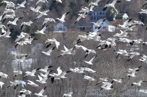 Snow Geese, Long Valley, NJ, Mar. 19, 2015 (photo by Jonathan Klizas)
