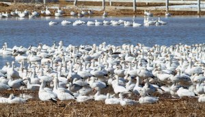 Snow Geese at Long Valley, NJ, Mar. 23, 2015  (photo by Jonathan Klizas)