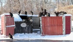 Vultures, Rockaway Twp., NJ, Mar. 21, 2015 (photo by Jonathan Klizas)