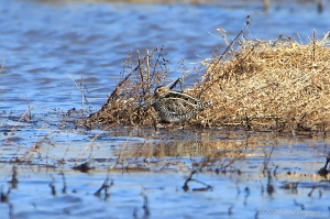Wilson's Snipe, Negri-Nepote Grasslands, NJ, Mar. 23, 2015 (photo by Rob Gallucci)