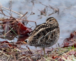 Wilson's Snipe, Melanie Lane, Hanover Twp., NJ, Mar. 15, 2015 (photo by Jonathan Klizas)