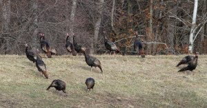 Wild Turkeys, Florham Park, NJ, Mar. 28, 2015 (photo by Jonathan Klizas)