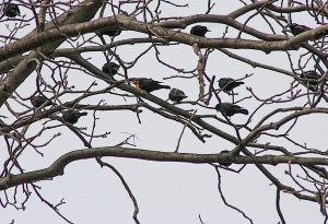 Yellow-headed Blackbird, Hillsborough Twp., NJ, Mar. 30, 2015 (photo by Frank Sencher, Jr.)