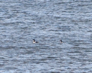 Red-necked Grebes, Boonton Reservoir, Apr. 11, 2015 (distant photo by Jonathan Klizas)