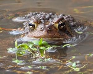 Am. Toad, Leddell's Pond, Mendham, NJ, Apr. 16, 2015 (phpto by Jonathan Klizas)
