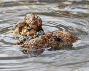 Am. Toads, Leddell's Pond, Mendham, NJ, Apr. 16, 2015 (phpto by Jonathan Klizas)