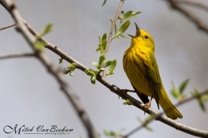 Yellow Warbler, Loantaka Brook Reservation, NJ, Apr. 28, 2015 (photo by Mitch Van Beekum)