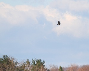 Bald Eagle, Boonton Reservoir, Apr. 11, 2015 (photo by Jonathan Klizas)