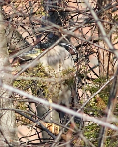 Black-crowned Night-Heron, Parsippany, NJ, Apr. 5, 2015 (photo by Jonathan Klizas)