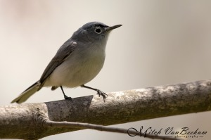 Blue-gray Gnatcatcher, Loantaka Brook Reservation, NJ, Apr. 28, 2015 (photo by Mitch Van Beekum)