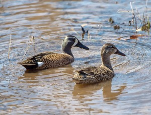 Blue-winged Teal, Great Swamp NWR, NJ, Apr. 12, 2015 (photo by Chuck Hantis)
