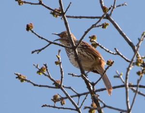 Brown Thrasher, Troy Meadows, NJ, Apr. 26, 2015 (photo by Chuck Hantis)
