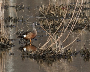 Blue-winged Teal, Melanie Lane, NJ, Apr. 12, 2015 (photo by Jonathan Klizas)