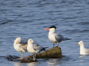 Caspian Tern, Lake Musconetcong, NJ, Apr. 21, 2015 (photo by Alan Boyd)