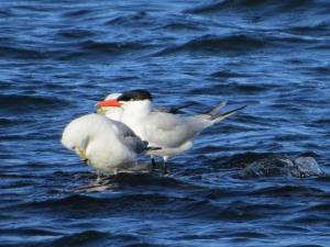 Caspian Tern, Lake Musconetcong, NJ, April 11, 2015 (photo by Alan Boyd)