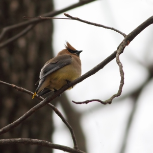 Cedar Waxwing, Florham Park, NJ, Apr. 9, 2015 (photo by Jonathan Klizas)