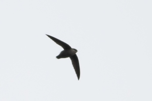 Chimney Swift, Raritan, NJ, Apr. 23, 2015 (photo by Jonathan Klizas)