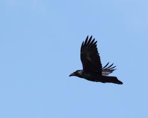 Common Raven, Boonton Reservoir, Apr. 11, 2015 (photo by Jonathan Klizas)