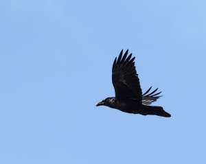 Common Raven, Boonton Reservoir, Apr. 11, 2015 (photo by Jonathan Klizas)
