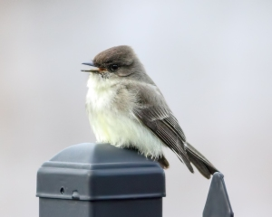 Eastern Phoebe, Boonton Reservoir, NJ, Apr. 1, 2015 (photo by Jonathan Klizas)