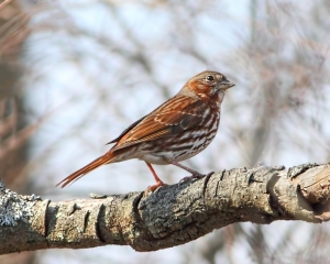 Fox Sparrow, Troy Meadows, NJ, Apr. 5, 2015  (photo by Jonathan Klizas )