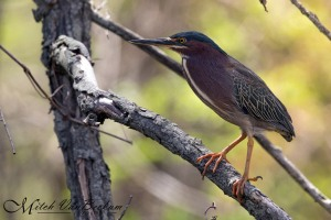 Green Heron, Loantaka Brook Reservation, NJ, Apr. 28, 2015 (photo by Mitch Van Beekum)