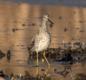 Greater Yellowlegs, Melanie Lane, NJ, Apr. 12, 2015 (photo by Chuck Hantis)