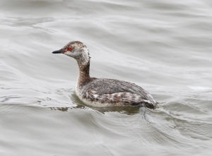 Horned Grebe, Budd Lake, NJ,  Apr. 10, 2015 (photo by Jonathan Klizas)