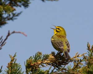 Prairie Warbler, Six Mile Run, NJ, Apr. 21, 2015 (photo by Chris Duffek)