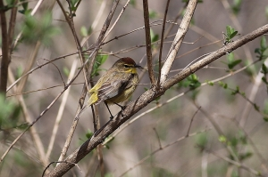 Palm Warbler, Bamboo Brook, Chester Twp., NJ, Apr. 19, 2015 (photo by Mark Kalmbach)
