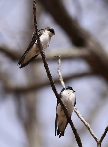 Tree Swallows, Bamboo Brook, Chester Twp., NJ, Apr. 19, 2015 (photo by Mark Kalmbach)