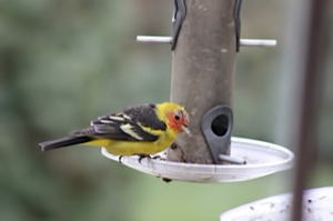 Western Tanager, Long Valley, NJ, April 23-24 (photo by A. Rand)