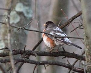American Robin, Great Swamp NWR, NJ, Apr. 16, 2015 (photo by Jonathan Klizas)