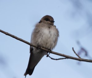 Northern Rough-winged Swallow, Loantaka Brook Reservation, NJ, Apr. 22, 2015 (photo by Chuck Hantis)