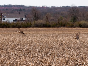 Sandhill Cranes, Montgomery Twp., NJ, Apr. 16, 2015 (photo by Nancy Gallagher)