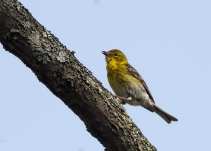 Pine Warbler, Troy Meadows, April 19, 2015 (photo by Jonathan Klizas)