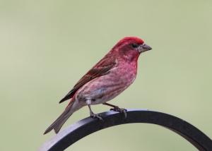 Purple Finch, Morris Twp., NJ, Apr. 18, 2015 (photo by Jonathan Klizas)