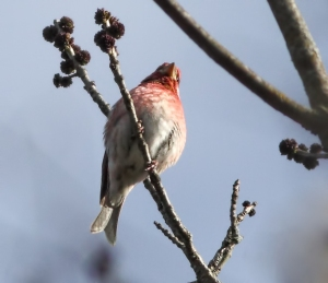 Purple Finch, Troy Meadows, NJ, Apr. 25, 2015 (photo by Jonathan Klizas)