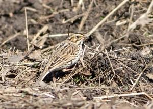 Savannah Sparrow, Florham Park, NJ, Apr. 18, 2015 (photo by Jonathan Klizas)