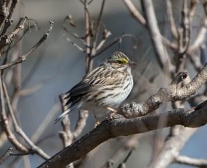 Savannah Sparrow, Troy Meadows, NJ, Apr. 26, 2015 (photo by Chuck Hantis)