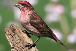 Purple Finch, Warren Twp., Apr. 29, 2015 (photo by Steve Byland)