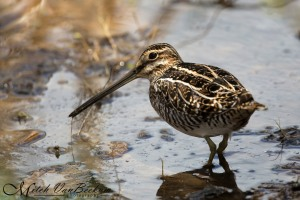 Wilson's Snipe, Loantaka Brook Reservation, NJ, Apr. 28, 2015 (photo by Mitch Van Beekum)