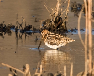 Wilson's Snipe, Melanie Lane, NJ, Apr. 12, 2015 (photo by Chuck Hantis)